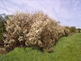 50 Blackthorn Hedging 40-60cm,Prunus Spinosa 2ft Sloe Hedge. Flowers & Fruit