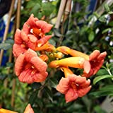 アメリカノウゼンカズラ:フラメンコ 5号鉢植え長尺支柱仕立て