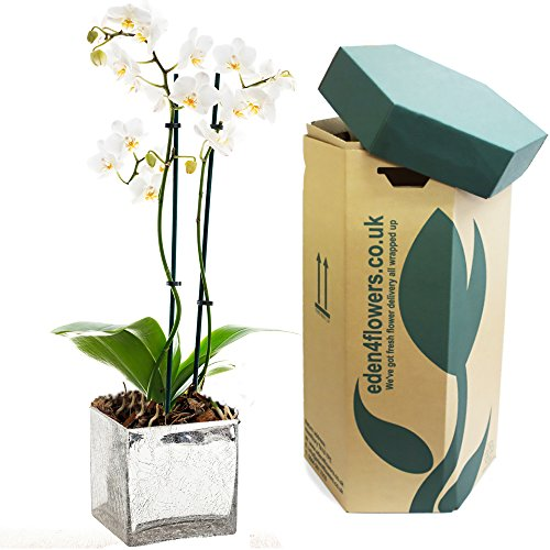 christmas-fresh-white-phalaenopsis-orchid-plant-gift-luxury-christmas-flowering-plant-gifts-by-eden4