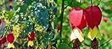 1X 3-4FT LARGE ABUTILON MEGAPOTAMICUM VARIEGATA - RARE CLIMBING PLANT - EXOTIC -3L