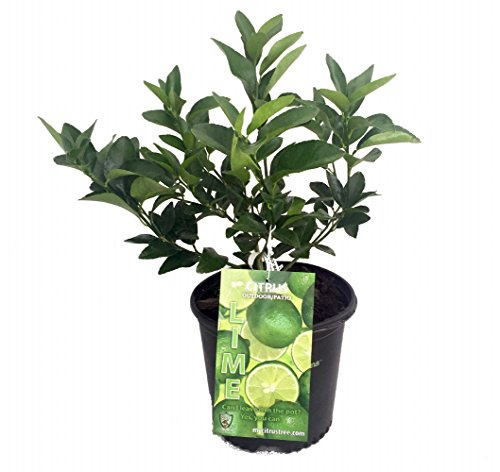 persian-lime-tree-fruit-bearing-size-branched-8-pot-citrus