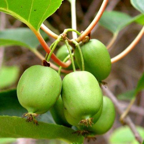 Kiwi Fruit Hairless!