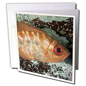 Danita Delimont - Fish - Glasseye snapper, Fish, Caribbean - NA02 MDE0025 - Michael DeFreitas - 6 Greeting Cards with envelopes (gc_84102_1)