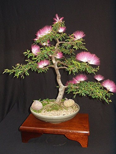 Albizia Julibrissin Mimosa Bonsai Persian Pink Silk Tree 10 seeds Rare