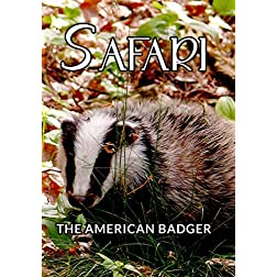 Safari The American Badger