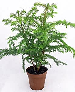 "Norfolk Island Pine - The Indoor Christmas Tree - 4"" Pot"