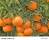 Mandarinenbaum Citrus reticulata 10 Samen Mittelmeermandarine
