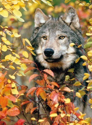 Colorluxe 500 Piece Puzzle - Autumn Gray Wolf