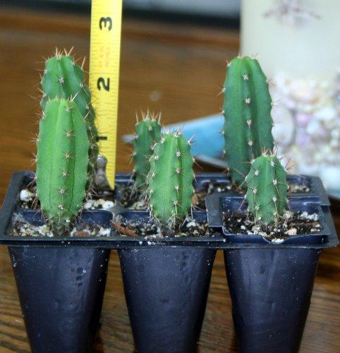 Trichocereus Bridgessi Seedlings, 6 Pack, aka San Pedro, Achuma
