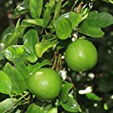 2-3 Year Old Key Lime Tree in (3) Gallon Grower's Pot, 3 Year Warranty