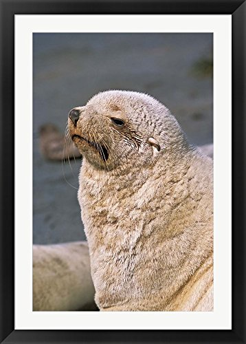 White Seal, South Georgia, Sub-Antarctica by Martin Zwick / Danita Delimont Framed Art Print Wall Picture, Black Flat Frame with Hanging Cleat, 32 x 44 inches