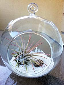 Airplant Tillandsia Ionantha Terrarium Kit