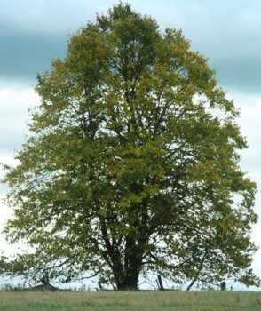Buy Tilia americana: American Linden or Basswood Seeds