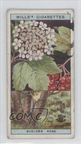 guelder-rose-comc-reviewed-good-to-vg-ex-trading-card-1924-wills-flowering-trees-shrubs-tobacco-base
