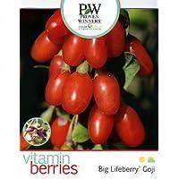 Big Lifeberry® Goji Berry Plant - Lycium - Vitamin Berries - Proven Winner