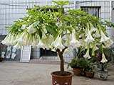bonsai tree mandala seeds White/Yellow/ home garden rare flower tree seeds 10seeds/bag
