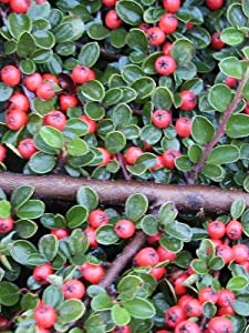 Cotoneaster 'Coral Beauty' - Cotoneaster