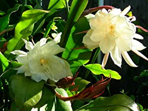 Orchid Cactus Epiphyllum Oxypetalum (white) One pc cutting, F1680
