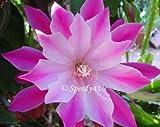"""Epiphyllum """"Bumpkin"""" Orchid Cactus Cutting"""