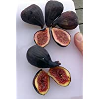 Hirt's Hardy Chicago Edible Fig Plant - Ficus - Hardy - 4