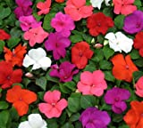 Impatiens Baby Mixed, 30 seeds by Seedscare