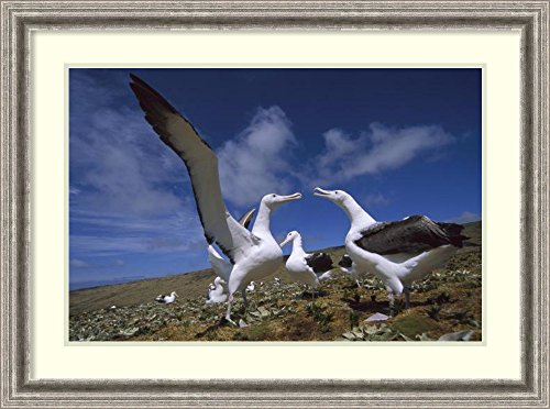 framed-art-print-southern-royal-albatross-gamming-group-campbell-island-new-zealand-by-tui-de-roy