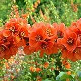 Amazon / Tropical Oasis: Flowering quince Chaenomeles Japonica BONSAI 1000 seeds