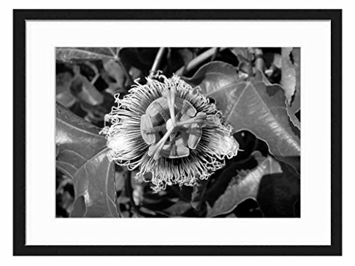 Passion fruit - Art Print Wall Solid Wood Framed Picture (Black & White 24x16 inches) (Hermaphrodite Picture compare prices)