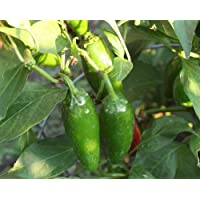 Mucho Nacho Pepper 4 Live Plants - Large Jalapeno