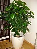 【送料無料】鉢カバー付きコーヒーの木/130cm前後