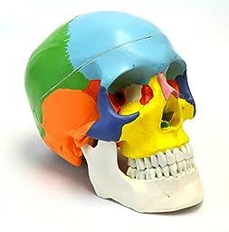 Doc.Royal Colored Human Skull Anatomical Model, Medical Quality, Life Sized (9\