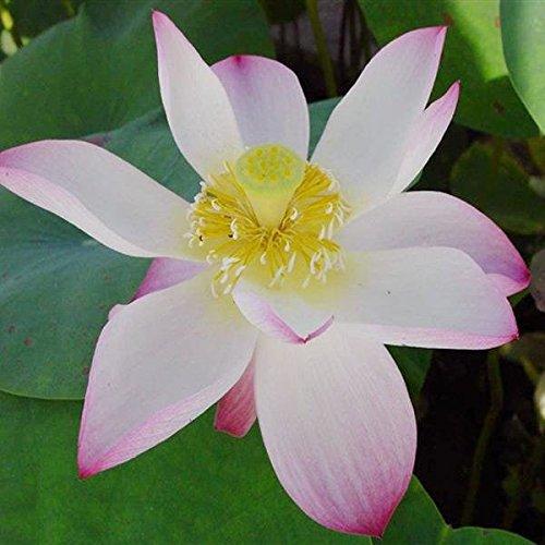 paleo-10pcs-recipiente-blanco-de-loto-semillas-acuatico-jardin-planta