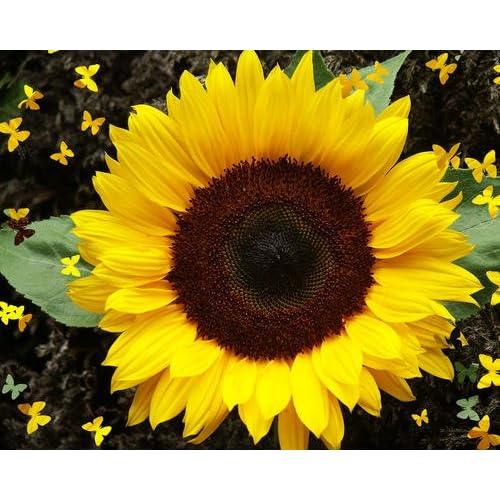 Premier Seeds Direct SUN02F Sunflower Dwarf Sunspot Finest Seeds (Pack of 40)