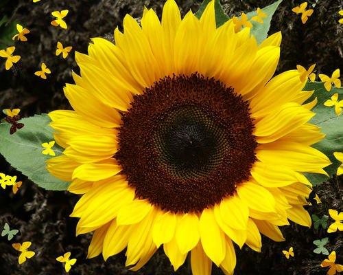 premier-seeds-direct-sun02f-sunflower-dwarf-sunspot-finest-seeds-pack-of-40