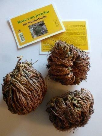 Tropica - Rose di Jericho (Selaginella lepydophylla) - 3 tuberi XL in confezione