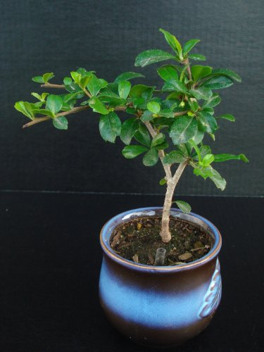 Fukien Tea Live Bonsai Flowering Plant Indoor Starter Bonsai Plant -- Best Gift