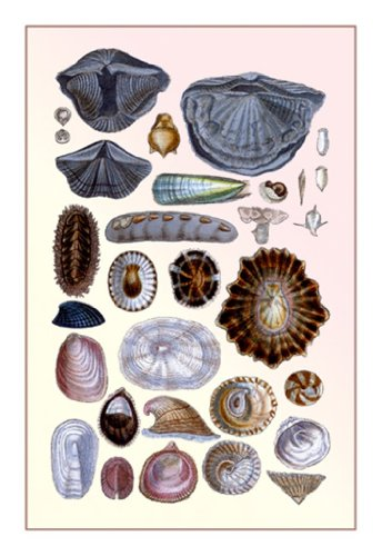 Shells: Monomyaria, Pteropoda, And Gasteropoda, By G.B. Sowerby, 12X18 Poster, Heavy Stock Semi-Gloss Paper Print