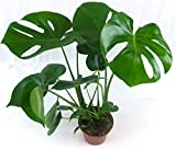 Swiss Cheese Plant (Monstera Deliciosa) in 14cm pot. 50cm tall approx.