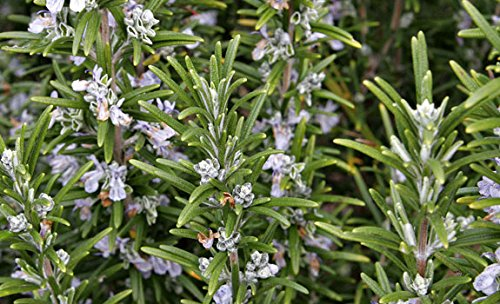 rosemary-barbeque-9cm-pot-culinary-herb-summer-flowers-loved-by-bees-evergreen-free-delivery