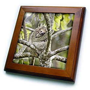 3dRose ft_87142_1 Costa Rica, Three-toed sloth wildlife - SA22 BJA0001 - Jaynes Gallery - Framed Tile, 8 by 8-Inch
