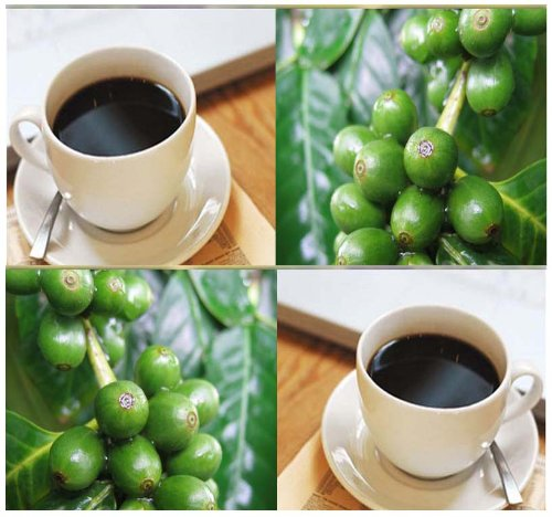 100 X Coffea Arabica Seed - Coffee Bean Shrub Seeds ~ Best Coffee - Brew Your Own Cup Of Java - By Myseeds.Co