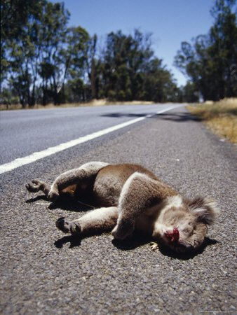The Bloodied Roadkill of a Male Koala Alongside a Country Road, Australia