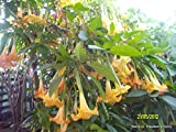 brugmansia huge yellow flowers scented 25 seeds