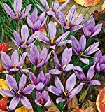 Saffron Fall Blooming Crocus – 10 bulbs