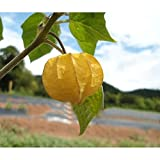 Solution Seeds Farm Heirloom Fruit Seeds 200 Pcs Seeds Uchuva Physalis Peruviana Goldenberry New Packing!