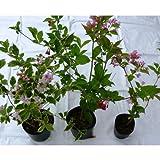 空木 ウツギ 苗 3種ミックスx1ポット 斑入り空木 大紅空木 谷空木
