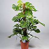 Swiss Cheese Plant (Monstera Deliciosa) in 24cm pot with moss stick. 120cm