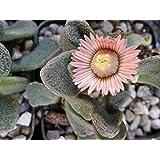 Titanopsis fulleri Cactus Cacti Succulent Real Live Plant