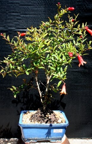 Dwarf Pomengranate Indoor Bonsai Tree by Sheryls Shop