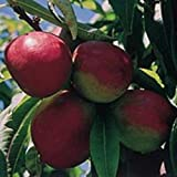 1X 4-5FT LARGE NECTARINE FRUIT TREE - UK HARDY - HIGH QUALITY TREES - B/R
